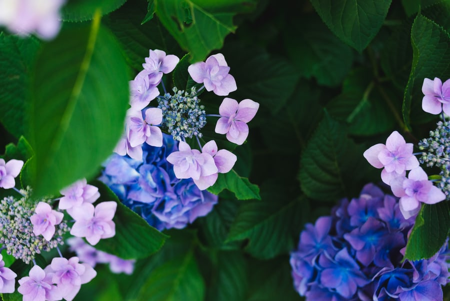 Mauve and violet coloured hydrangeas with green leaves.